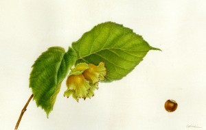 Woodin Hazelnut