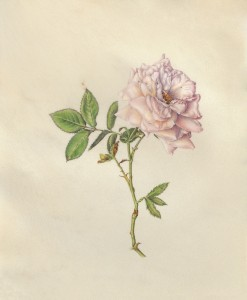Esther Klahne Tea Rose watercolor on vellum