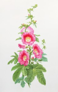 Karen Kluglein Hollyhock, 2009 watercolor on vellum 23 x 19 inches