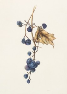 """Riverbank Grapes"", 2015 Watercolor on Kelmscott vellum, 13 x 7 inches"