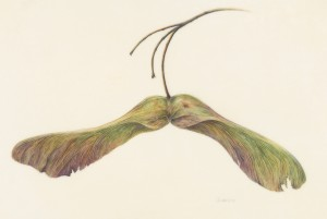 """Taking Leave"" (Norway Maple samara), 2014 Watercolor on Kelmscott  vellum, 11 x 6. 6 inches"
