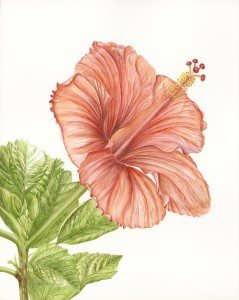 Jeanne Reiner Hibiscus, 2014 Watercolor on paper