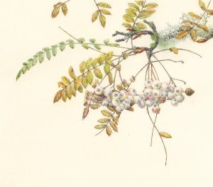 Jean Emmons Sorbs-Mountain Ash Watercolor on Kelmscott vellum 14 x 17 inches