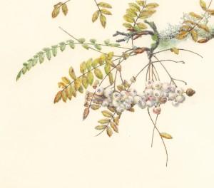 Jean Emmons Sorbs-Mountain Ash Watercolor on Kelmscott vellum 14 x 17 inches