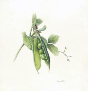 Scanlon Peas