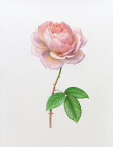 KKSingle Tamora Rose 300dpi
